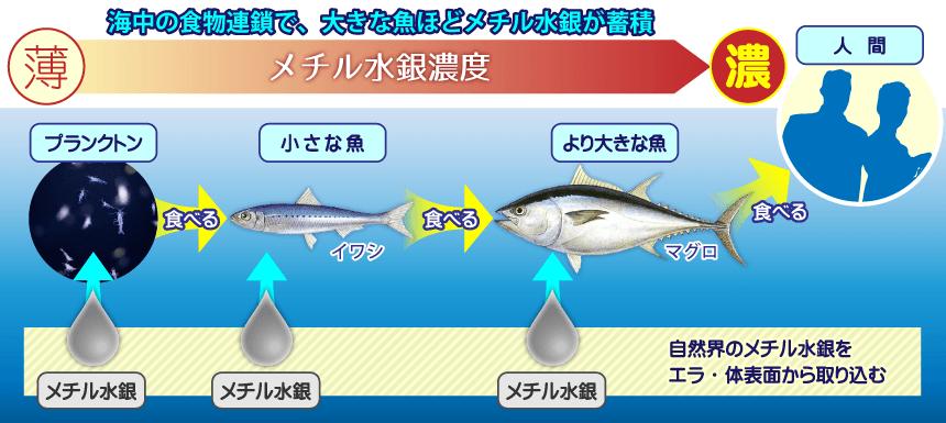 海中の食物連鎖で、大きな魚ほどメチル水銀が蓄積