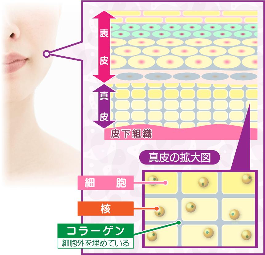 肌とコラーゲン