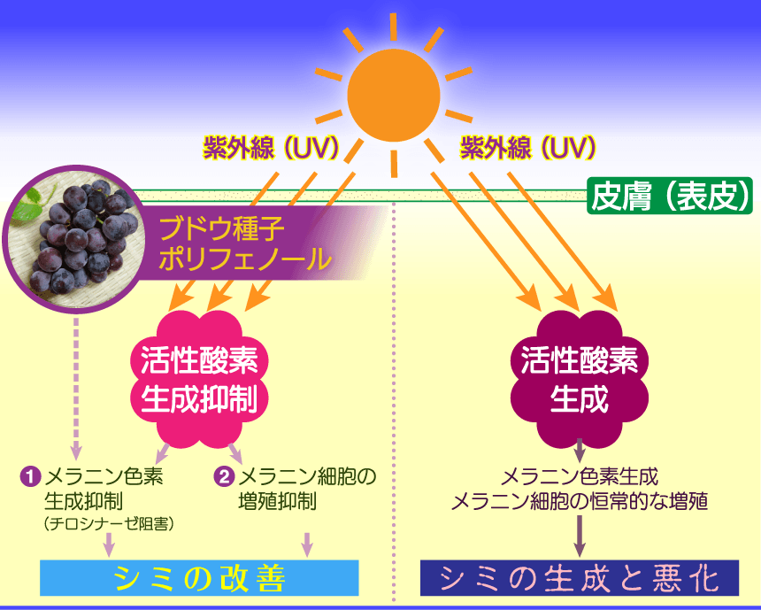 ブドウ種子ポリフェノールの活性酸素抑制効果