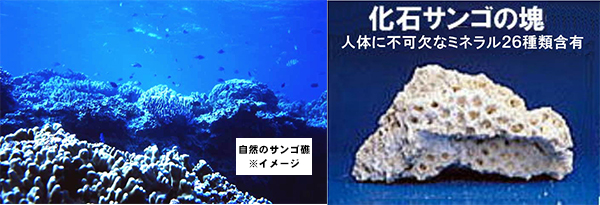 天然の化石サンゴ
